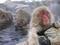 Yudanaka Snow Monkeys