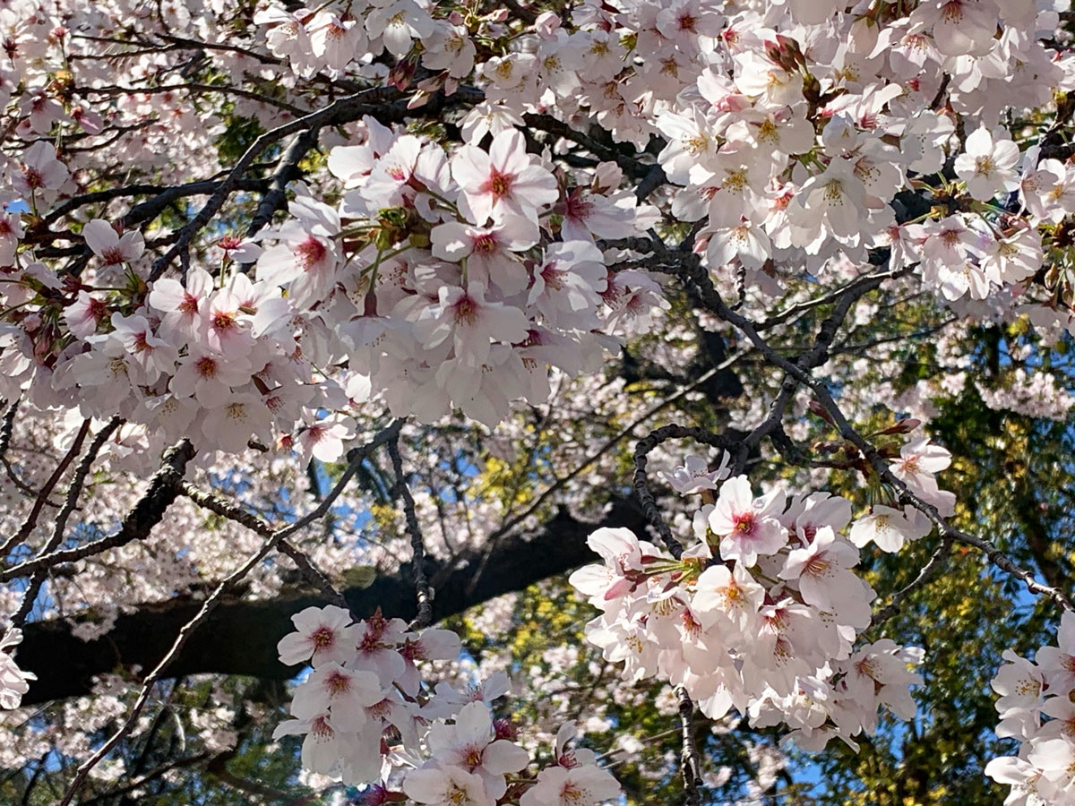 Hanami: a Cherry Blossom Viewing Party
