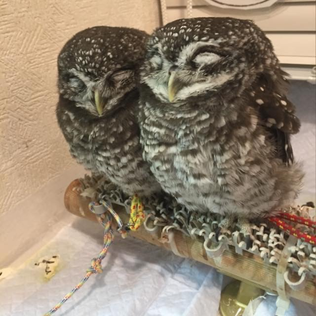 Cafe Owl Village in Harajuku